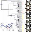 Preliminary molecular phylogeny and biogeography of the monobasic subfamily Calinaginae (Lepidoptera, Nymphalidae)