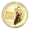 A catalogue of the scutigeromorph centipedes in the Museum für Naturkunde, Berlin