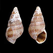 Type specimens of Mollusca described ...