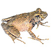 A new frog species of the subgenus Asperomantis ...