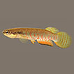 Three new species of the killifish genus ...