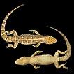 Description of a new species of Homonota ...