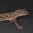 Ontogeny of Hemidactylus (Gekkota, Squamata) ...