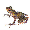 A distinctive new frog species (Anura, ...