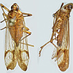 Taxonomic review of the planthopper genus ...