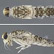 A new species of Bungona in Turkey (Ephemeroptera, ...