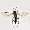Three new species of the Macrophya maculitibia ...