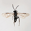 Three new species of Macrophya Dahlbom ...