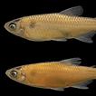 A new species of Aphyocharax Günther,  ...