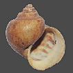 Illustrated catalogue of types of Ampullariidae ...