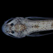A new psammophilic species of the catfish ...