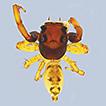 Descriptions of three new species of ...