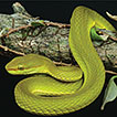A new species of green pit vipers of ...