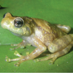 Frogs of the genus Platypelis from the ...