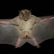 A systematic revision of the bats (Chiroptera) ...