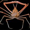 Revision of the deep-water spider crab ...