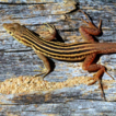 Lizards of a different stripe: phylogenetics ...