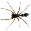 Myrmecotypus mazaxoides sp. nov. – a ...