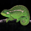 A new chameleon of the Trioceros affinis ...