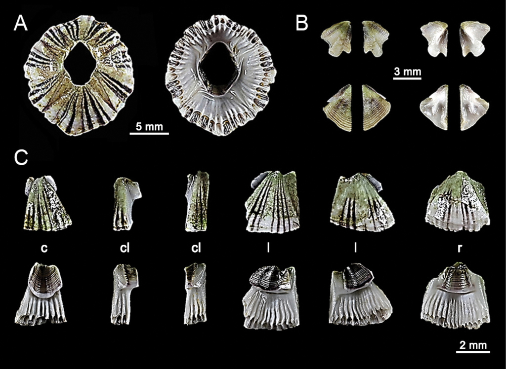 The diversity of acorn barnacles (Cirripedia, Balanomorpha) across ...