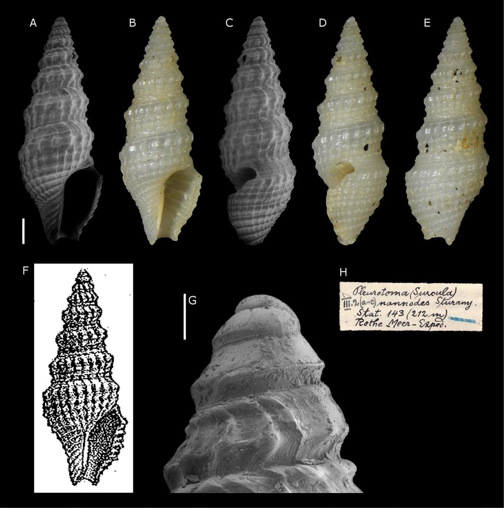 Translation Of Gastropods