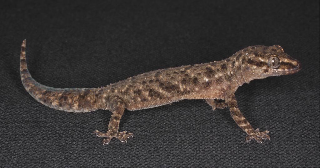 Ontogeny of Hemidactylus (Gekkota, Squamata) with emphasis on the limbs