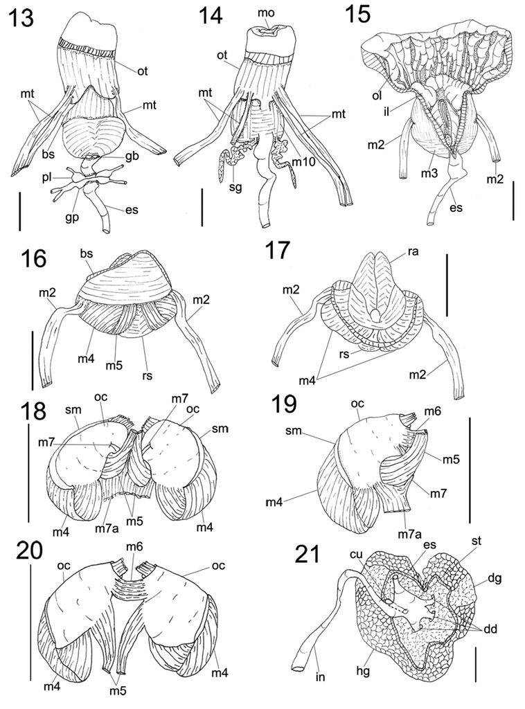 Complementary Anatomy Of Actinocyclus Verrucosus Nudibranchia
