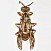 An anocellar polistine wasp (Hymenoptera, Vespidae, Polistinae) from Texas