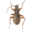 <i>Bryanites graeffii</i> sp. n. (Coleoptera, Carabidae): museum rediscovery of a relict species from Samoa