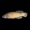 Redescription of <i>Nothobranchius lucius</i> and description of a new species from Mafia Island, eastern Tanzania (Cyprinodontiformes, Aplocheilidae)