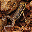 A review of the reproductive biology of the only known matrotrophic viviparous anuran, the West African Nimba toad, <i>Nimbaphrynoides occidentalis</i>
