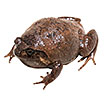 Diamond in the rough: a new species of fossorial diamond frog (<i>Rhombophryne</i>) from Ranomafana National Park, southeastern Madagascar