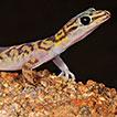 Loveridge's Angolan geckos, <i>Afroedura karroica bogerti</i> and <i>Pachydactylus scutatus angolensis</i> (Sauria, Gekkonidae): new distribution records, comments on type localities and taxonomic status