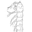 A new genus of Parastenocarididae (Copepoda, Harpacticoida) from the Tocantins River basin (Goiás, Brazil), and a phylogenetic analysis of the Parastenocaridinae