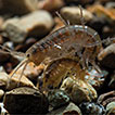 Two new species of <i>Jesogammarus</i> from Japan (Crustacea, Amphipoda, Anisogammaridae), with comments on the validity of the subgenera <i>Jesogammarus</i> and <i>Annanogammarus</i>