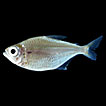 Redescription of <i>Moenkhausia megalops</i> (Eigenmann, 1907), a widespread tetra from the Amazon basin (Characiformes, Characidae)