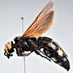 A quadriocellar scoliid wasp (Hymenoptera, Scoliidae) from Mallorca, with a brief account of supernumerary ocelli in insects
