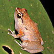 Two new species of the genus <i>Cophixalus</i> from the Raja Ampat Islands west of New Guinea (Amphibia, Anura, Microhylidae)