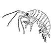 <i>Polycheria josephensis</i>, a new species of symbiotic amphipod (Crustacea, Amphipoda, Dexaminidae) from the Northern Gulf of Mexico, with notes on its ecology