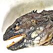 Remarks on the taxonomy and nomenclature of the genus <i>Hypsilurus</i> Peters, 1867 (Reptilia, Agamidae, Amphibolurinae)