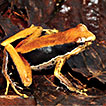 Description of a striking new <i>Mantophryne</i> species (Amphibia, Anura, Microhylidae) from Woodlark Island, Papua New Guinea