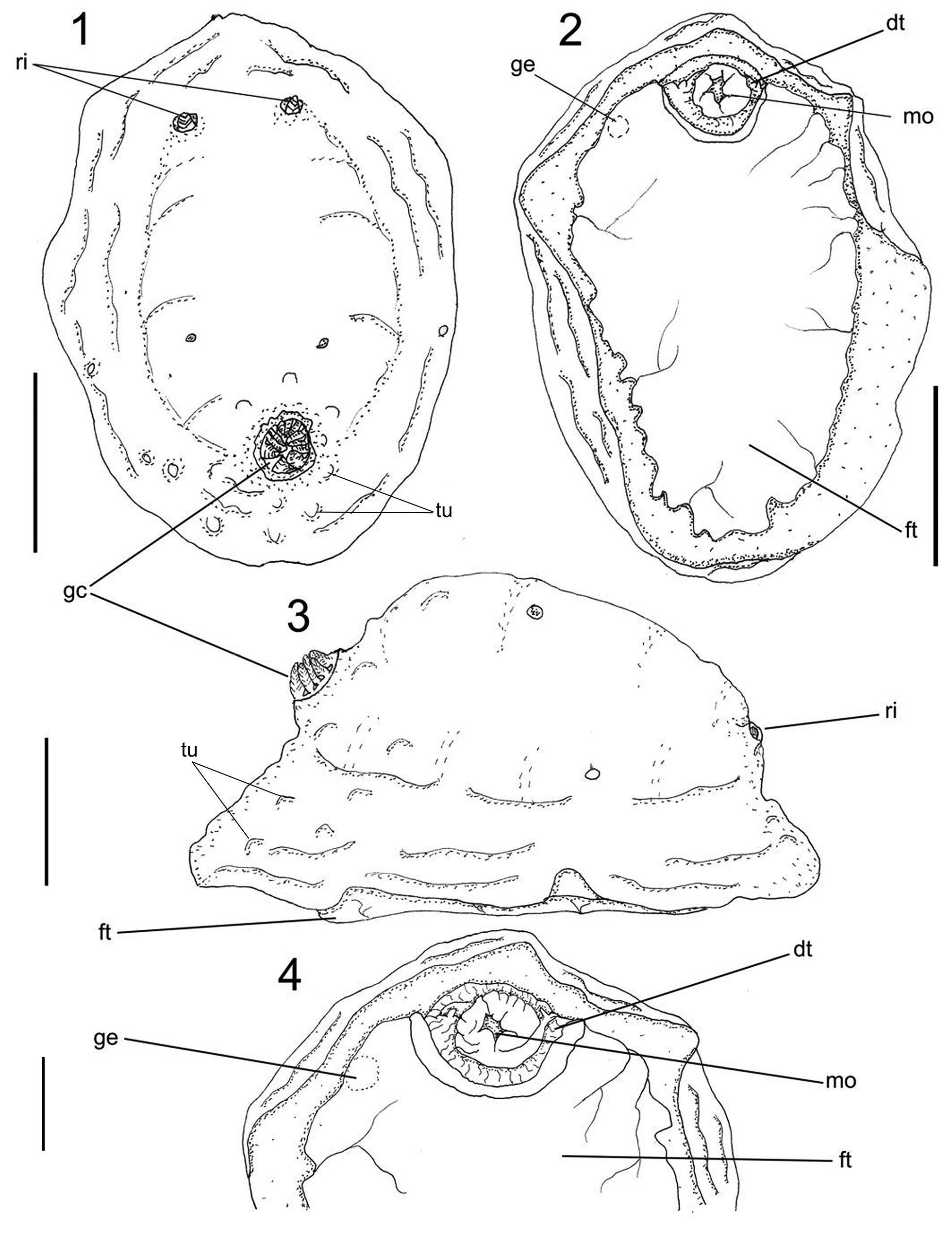 Complementary anatomy of Actinocyclus verrucosus (Nudibranchia ...
